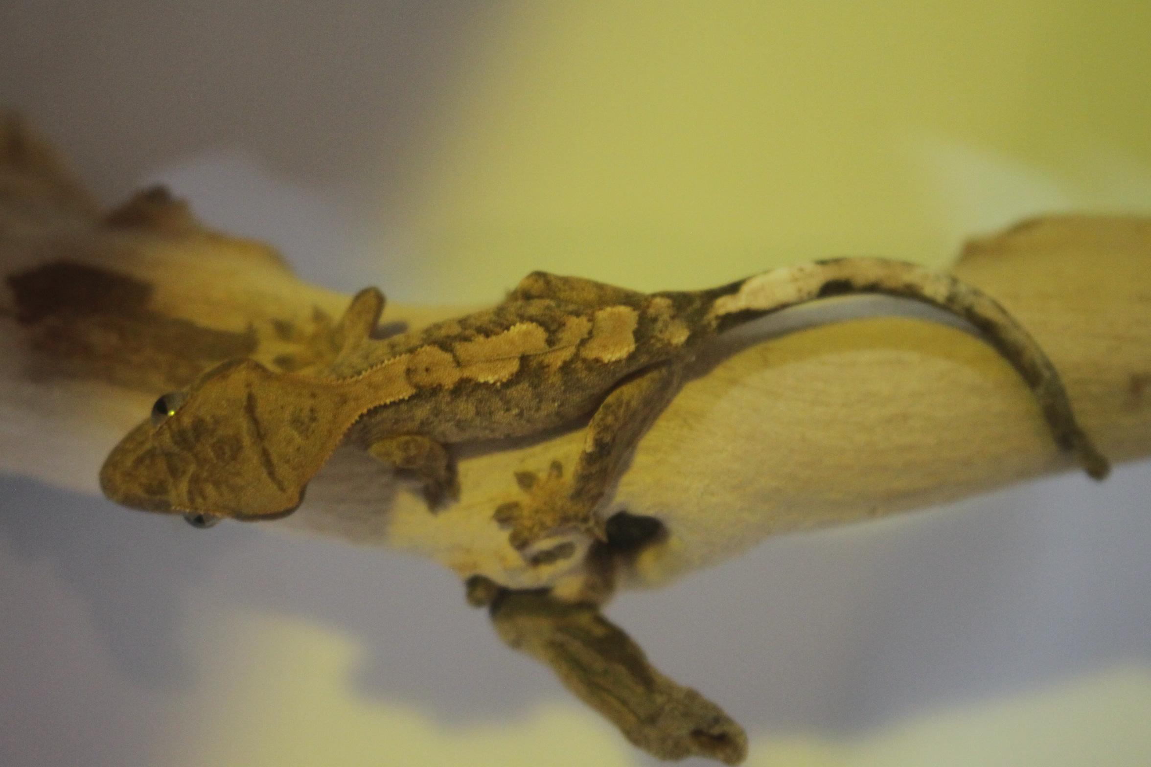 Crested Gecko 13번- Extreme Halrey