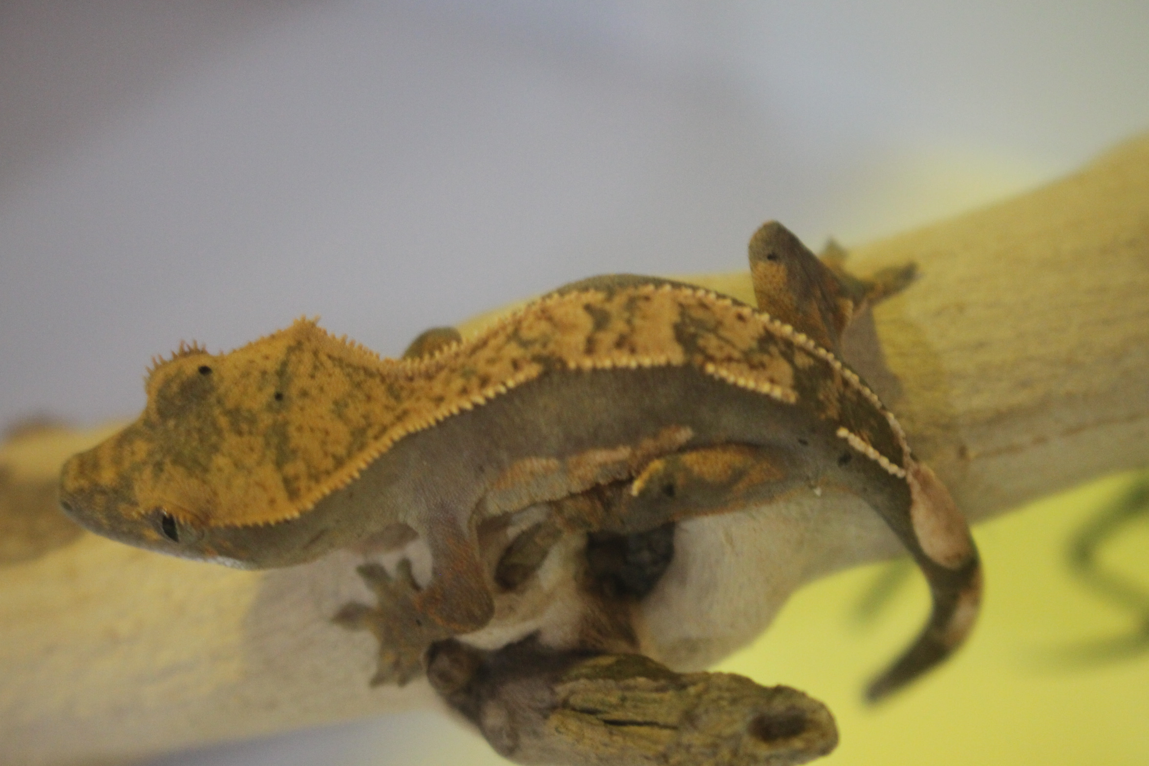 Crested Gecko 15번- Tangerine Pinner