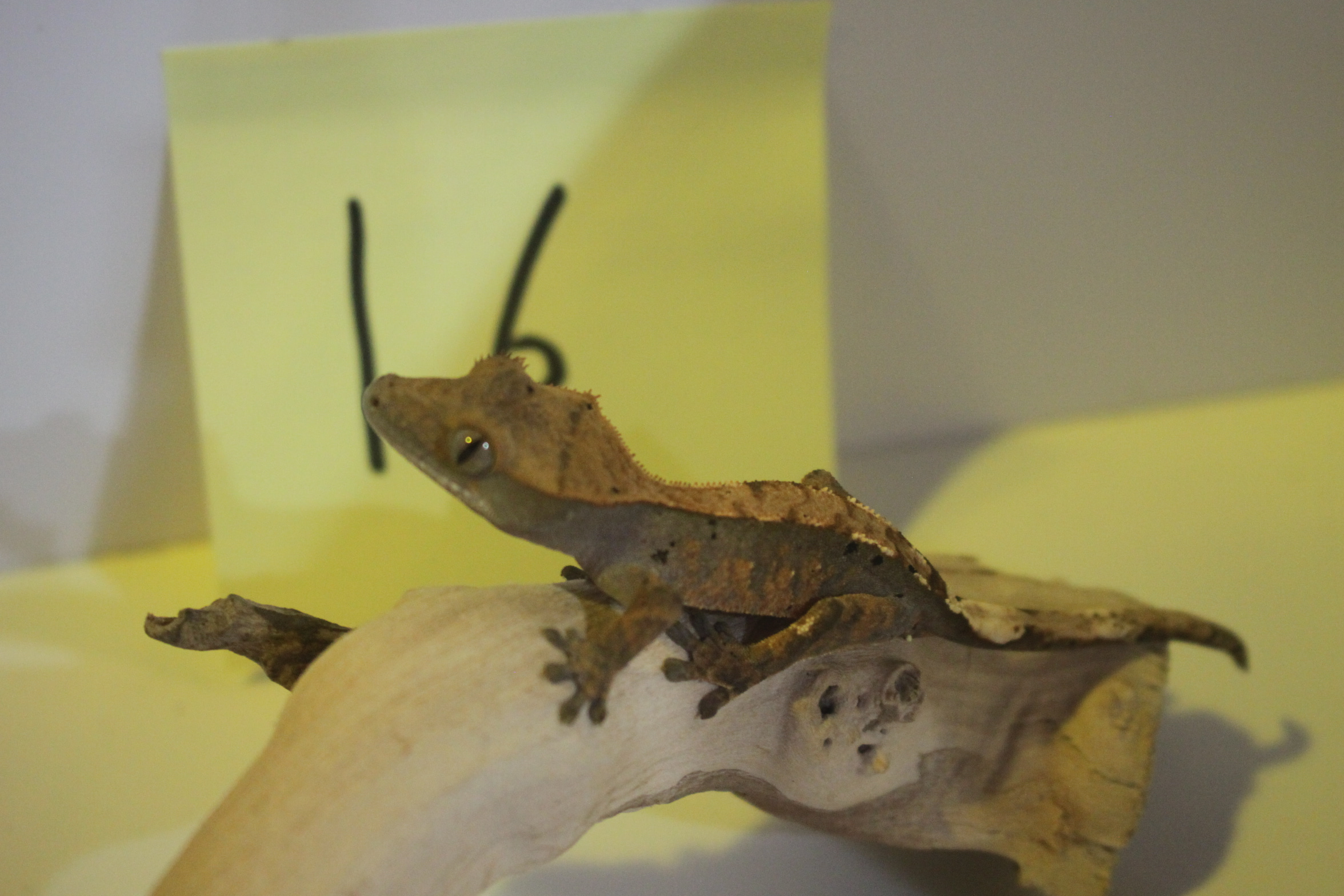 Crested Gecko 16번- Harley Pinner
