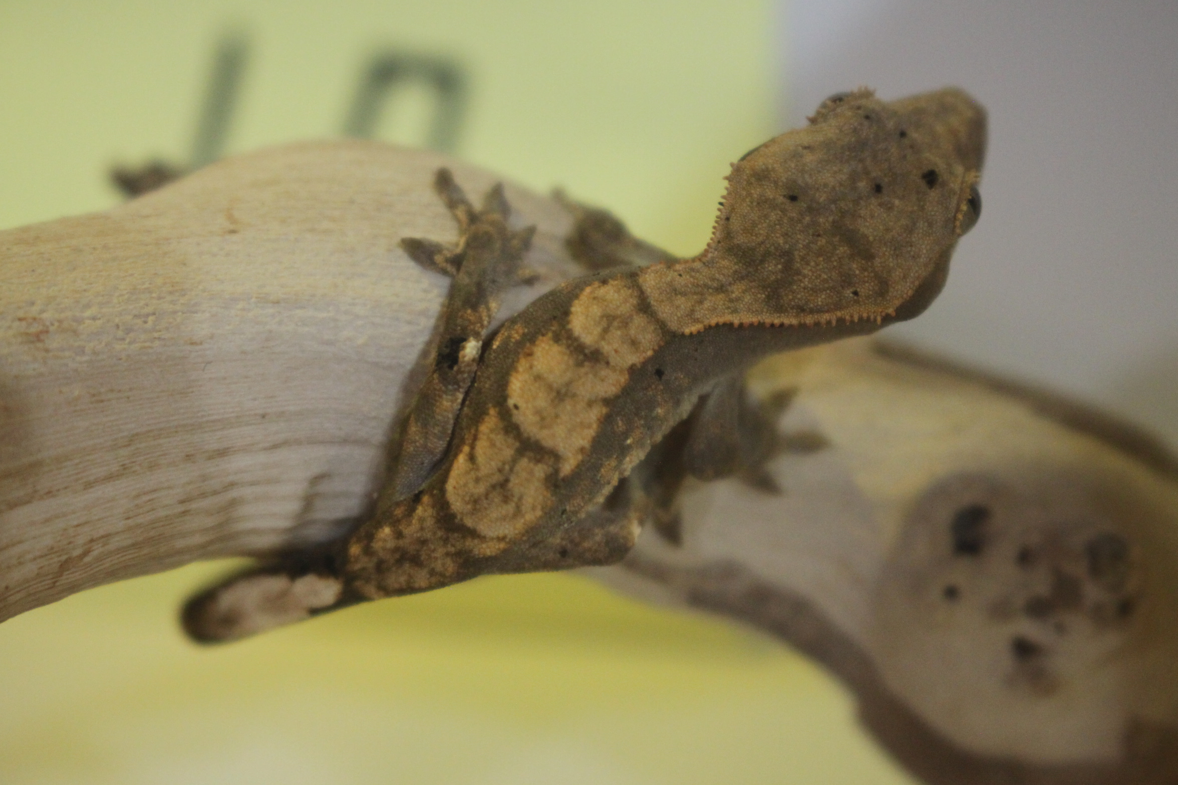 Crested Gecko 17번- Harlequin 할리퀸